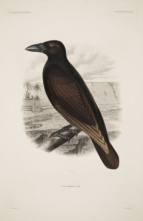 whisper - Endangered Hawaii'an Crows